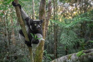 CLKMG115617 Indri (indri indri) in a primary forest in eastern Madagascar, Africa