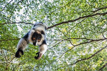 CLKMG115628 Black and white ruffed lemur (varecia variegata) in Eastern Madagascar
