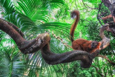 CLKMG115631 Red hybrid between eulemur macaco e Eulemur coronatus in Palmarium reserve, Madagascar