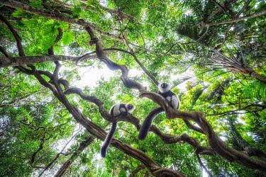 CLKMG115638 Black and white ruffed lemur (varecia variegata) in Eastern Madagascar