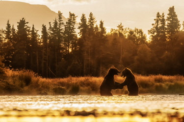 CLKMG117999 Brown bears fighting in Katmai National Park, Alaska