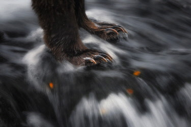 CLKMG118016 Paws of a brown bear (ursus arctos horribilis) fishing for salmon at the Brooks Falls, in Katmai National Park and preserve, Alaska