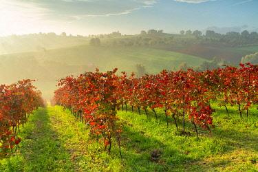 CLKMR119919 Lambrusco Grasparossa Vineyards in autumn. Castelvetro di Modena, Emilia Romagna, Italy