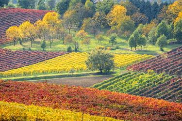 CLKMR119930 Lambrusco Grasparossa Vineyards in autumn. Castelvetro di Modena, Emilia Romagna, Italy