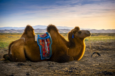 CLKSL119699 Bactrian camel near Singing Sand Dunes at Khongoryn Els in the Gobi Desert, Mongolia, Mongolian, Asia, Asian.