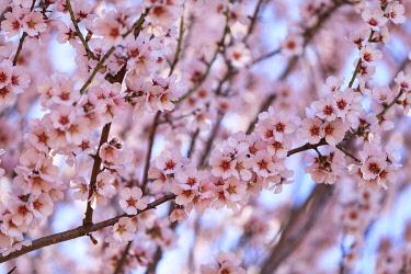 HMS3498825 France, Alpes de Haute Provence, Verdon Regional Nature Park, Valensole Plateau, Valensole, almond trees in bloom