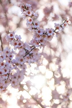 HMS3498828 France, Alpes de Haute Provence, Verdon Regional Nature Park, Valensole Plateau, Valensole, almond trees in bloom