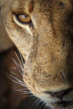 TZ4166AW Africa, Tanzania, Selous National Park.  A nice portrait of a lioness. National Park.  The eye of a lioness.