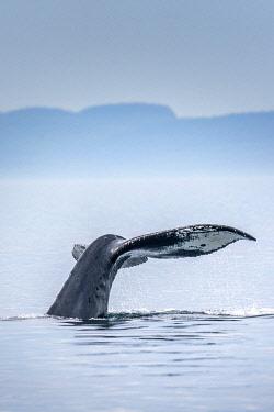 CAN3535AWRF Canada, British Columbia, Victoria. Humpback whale tail