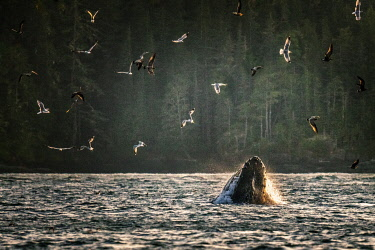 CAN3599AW Wild Humpback Whale feeding at broughton archipelago, Vancouver Island, British Columbia, Canada. Sunset scenics with birds and ocean