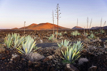 SPA9692AW Agaves (Agave) in the lava field near Mancha Blanca, Lanzarote, Canary Islands