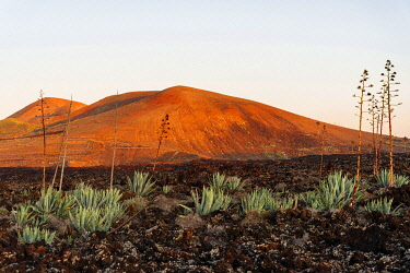 SPA9694AW Agaves (Agave) in the lava field near Mancha Blanca, Lanzarote, Canary Islands