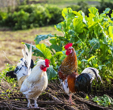 SPA9646 Spain. Galicia. Muxia. A cockerel and a hen with young chicken on a farm in the regions of Muxia. This is a regular vision of Pilgrims on the Camino in the Galica and O Coruna regions and regions of P...