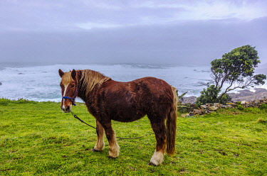 SPA9656 Spain. Galicia. Muxia. A Galician horse near the Ocean on the coast of Muxia,  on the way to Finisterre which pilgrims might encounter on their way.
