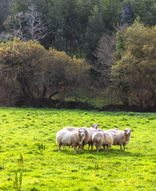 SPA9657 Spain.Galicia. Finisterre. Sheep grazing in the fields on the way to Finisterre, a very usual view for pilgrims on the Finisterre or Muxia way.