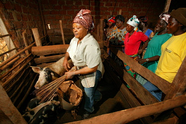 IBLHEH00896749 Women feeding pigs in a piggery, Bamenda, Cameroon, Africa