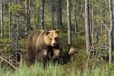 IBLMCS03750999 Brown Bear (Ursus arctos) with three cubs, Suomussalmi, Karelia, Finland, Europe