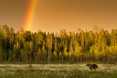 IBLMCS03751017 Brown Bear (Ursus arctos) with rainbow above forest, Suomussalmi, Karelia, Finland, Europe