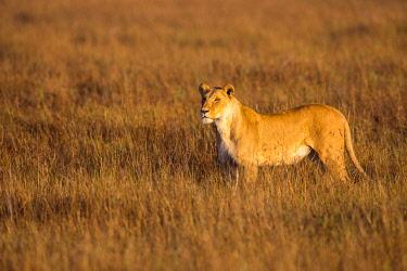 IBLOIY04964782 Lioness (Panthera leo) standing in tall grass, Masai Mara National Reserve, Kenya, Africa