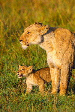 IBLOIY04966564 African Lion (Panthera leo) female with cub, Maasai Mara National Reserve, Kenya, Africa