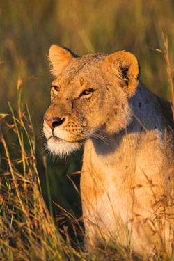 IBLOIY04966640 Lioness (Panthera leo), animal portrait, Masai Mara National Reserve, Kenya, Africa