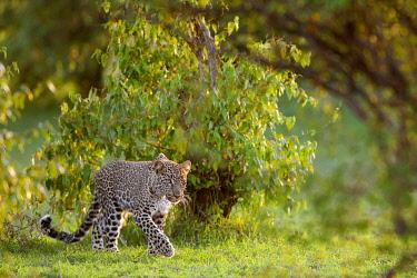 IBLOIY04972376 Leopard (Panthera pardus) stalking, Masai Mara National Reserve, Kenya, Africa