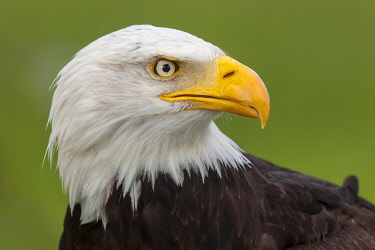 Bald Eagle (Haliaeetus leucocephalus), portrait, captive, Saarland, Germany, Europe