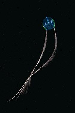 IBXAAA03739585 Sea Gooseberry (Pleurobrachia pileus), jellyfish, Black Sea, Crimea, Ukraine, Europe