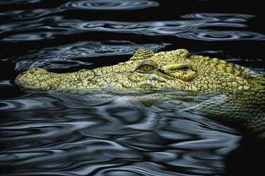 IBXIMW04868315 Saltwater crocodile (Crocodylus porosus), animal portrait in water, Albino, captive, Germany, Europe
