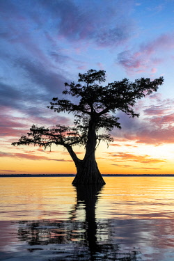 IBXJOR05086094 Single Bald cypress (Taxodium distichum) in water at sunset, Atchafalaya Basin, Louisiana, USA, North America