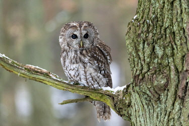 IBXMCS04820475 Tawny owl (Strix aluco) sits on branch, captive, Pilsen, Czech Republic, Europe