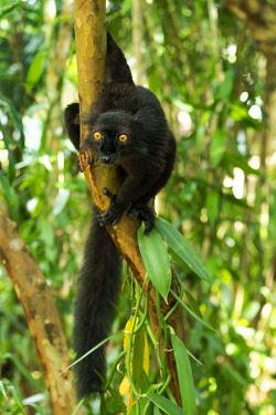 AF24EGO0233 Africa, Madagascar, Lake Ampitabe, Akanin'ny nofy Reserve. Male black lemur with bright orange eyes.