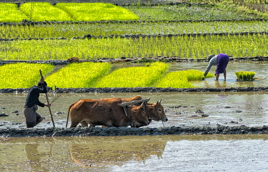 AS03KSU0129 Farmers planting rice seedlings and plowing with cow in the rice paddy, Rangamati, Chittagong Division, Bangladesh
