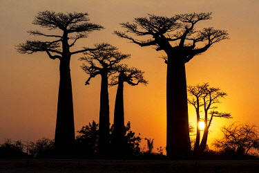 Africa, Madagascar, near Morondava, Baobab Alley. Baobab trees are silhouetted against the setting sun.
