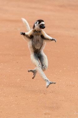 AF24EGO0288 Africa, Madagascar, Anosy Region, Berenty Reserve. A Verreaux's sifaka 'dances' across open areas.
