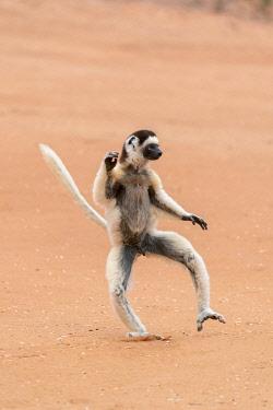 AF24EGO0289 Africa, Madagascar, Anosy Region, Berenty Reserve. A Verreaux's sifaka 'dances' across open areas.