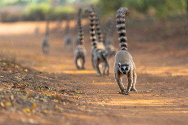 AF24EGO0308 Africa, Madagascar, Anosy Region, Berenty Reserve. A troupe of ring-tailed lemurs march down the road with their tails held high.