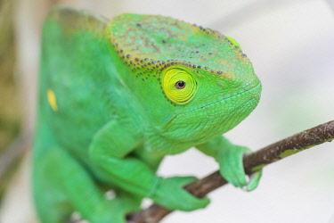 AF24EGO0328 Africa, Madagascar, east of Tana, Marozevo, Peyrieras Reptile Reserve. Portrait of a Parson's chameleon.