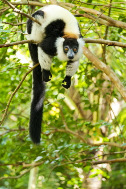 AF24EGO0357 Africa, Madagascar, Lake Ampitabe, Akanin'ny nosy Reserve. A black-and-white ruffed lemur completely relaxes in a tree.