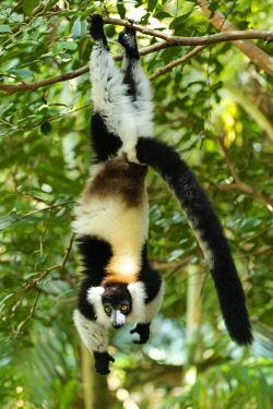 AF24EGO0358 Africa, Madagascar, Lake Ampitabe, Akanin'ny nosy Reserve. A black-and-white ruffed lemur hanging from its feet.