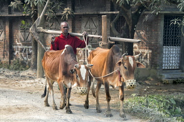 AS03KSU0228 Farmer herding cow, Rajshahi Division, Bangladesh.