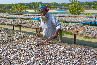 AS03KSU0234 Drying fish, Khulna, Bangladesh.