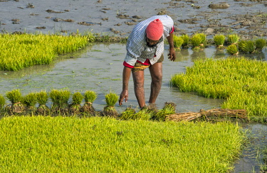 AS03KSU0238 Farmer planting gold rice seedlings, Khulna Division, Bangladesh.