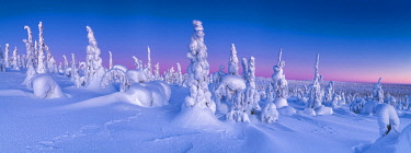 FIN1139AW Dawn Light on Snow-covered Pine Trees, Riisitunturi National Park, Posio, Lapland, Finland