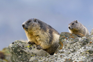 IBLFOX04557421 Alpine Marmots (Marmota marmota) on rockss, old animal and young animals, National Park Hohe Tauern, Carinthia, Austria, Europe