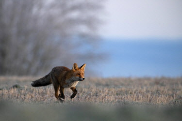 IBXHJE05092450 Red fox (Vulpes vulpes) in winter, running at frost, Eifel, Rhineland-Palatinate, Germany, Europe