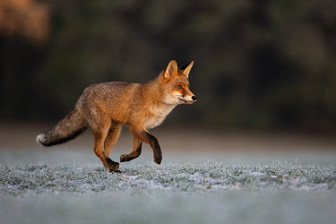 IBXHJE05092481 Red fox (Vulpes vulpes) in winter with hoarfrost, running, Eifel, Rhineland-Palatinate, Germany, Europe