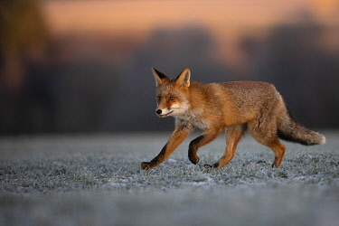 IBXHJE05092525 Red fox (Vulpes vulpes) running at hoarfrost in winter, Eifel, Rhineland-Palatinate, Germany, Europe