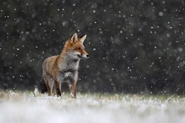 IBXHJE05092554 Red fox (Vulpes vulpes) during snowfall, Eifel, Rhineland-Palatinate, Germany, Europe