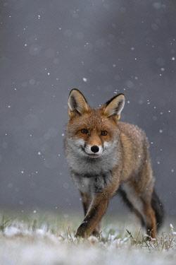 IBXHJE05092576 Red fox (Vulpes vulpes) during snowfall, Eifel, Rhineland-Palatinate, Germany, Europe
